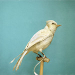 Albino Blue Jay Natural History Art Photograph