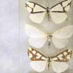 Moth Wings Natural History Art