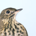 Thrush Bird Photograph